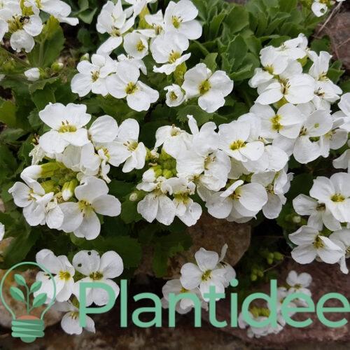 Plantidee - planten - Arabis arendsii schneeball