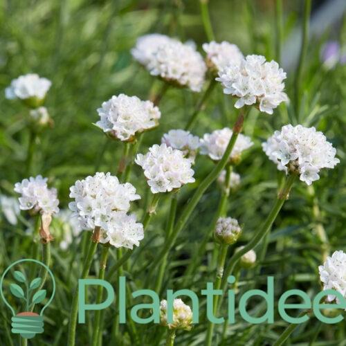 Plantidee - planten - Armeria maritima alba