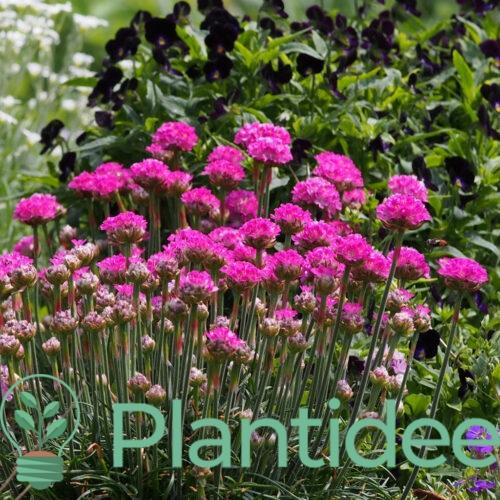 Plantidee - planten - Armeria maritima rubrifolia
