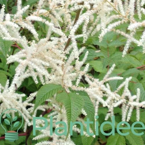 Plantidee - planten - Aruncus aethusifolius