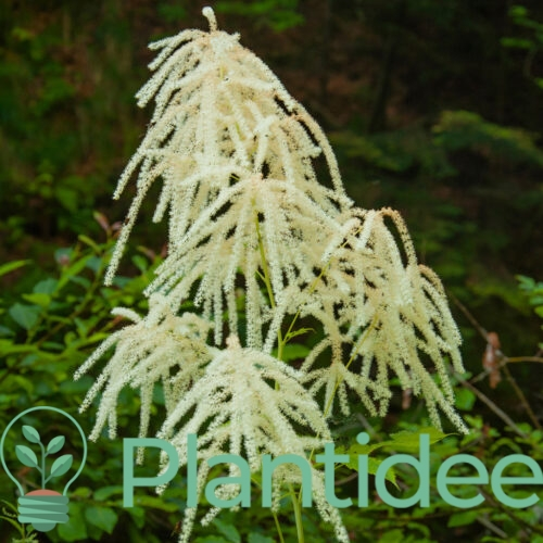 Plantidee - planten - Aruncus sinensis