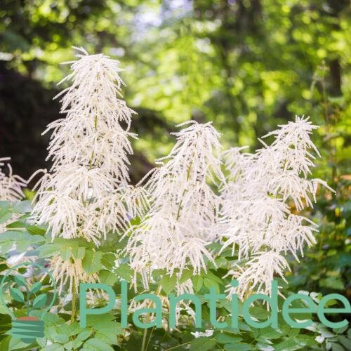 Plantidee - planten - Aruncus sinensis zweiweltenkind