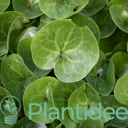 Plantidee - planten - Asarum europaeum
