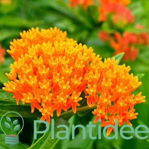 Plantidee - planten - Asclepias tuberosa