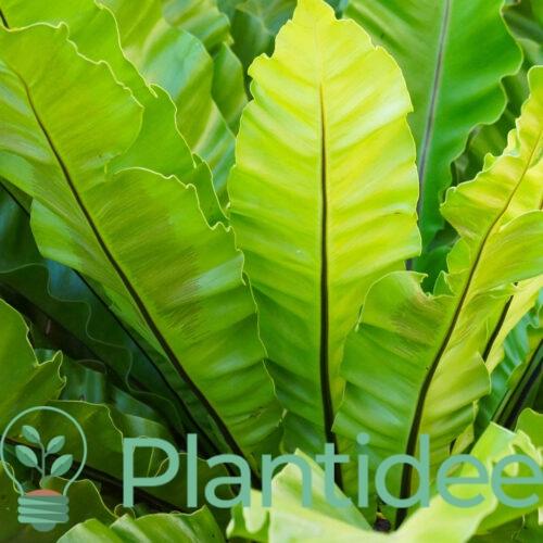 Plantidee - planten - Asplenium scol. Undulatum