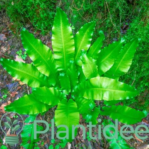 Plantidee - planten - Asplenium scolopendrium