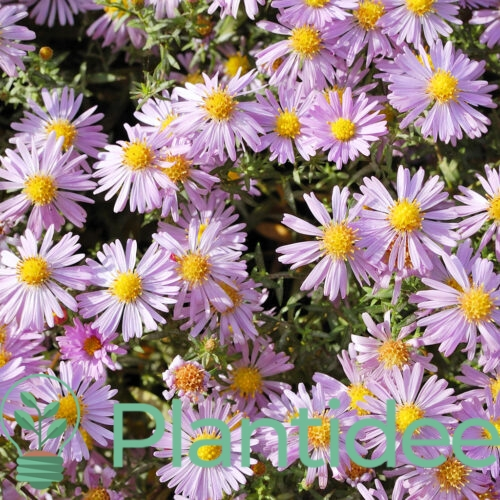 Plantidee - planten - Aster ageratoides asran