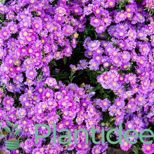 Plantidee - planten - Aster ageratoides ezo murazaki
