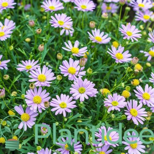 Plantidee - planten - Aster ageratoides harry schmidt