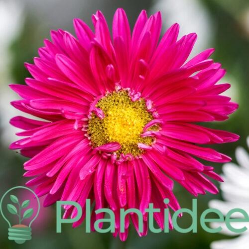 Plantidee - planten - Aster alpinus pinkie