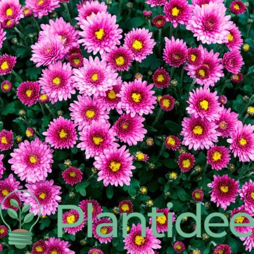 Plantidee - planten - Aster dumosus alice haslam
