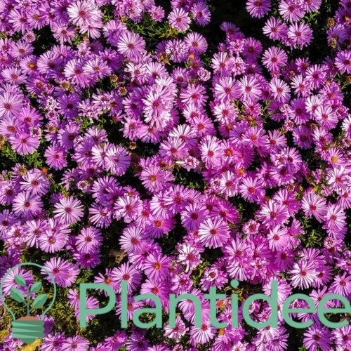 Plantidee - planten - Aster dumosus augenweide
