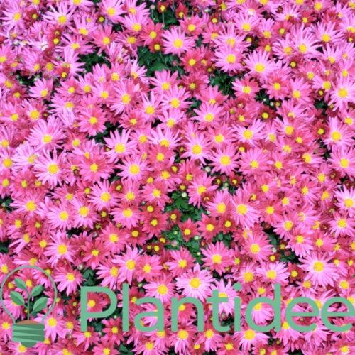 Plantidee - planten - Aster dumosus herbstgruss vom bresserhof