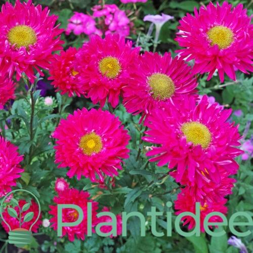Plantidee - planten - Aster dumosus jenny