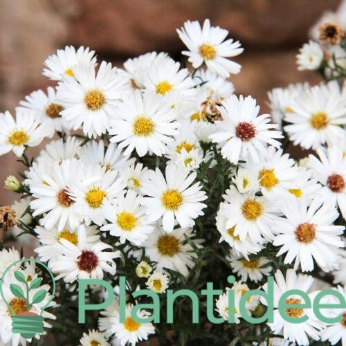 Plantidee - planten - Aster dumosus kristina