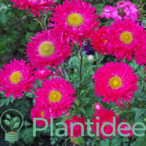 Plantidee - planten - Aster dumosus starlight