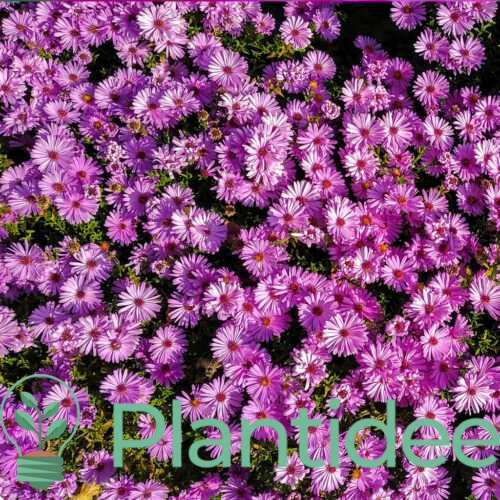 Plantidee - planten - Aster macrophyllus twilight