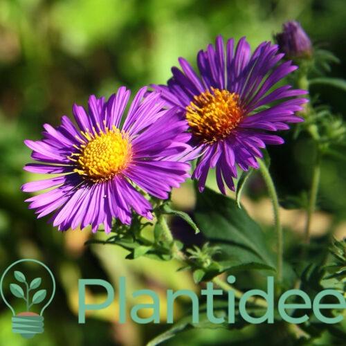 Plantidee - planten - Aster novae - angliae violetta
