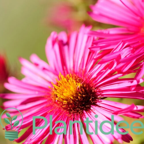 Plantidee - planten - Aster novi - belgii crimson brocade