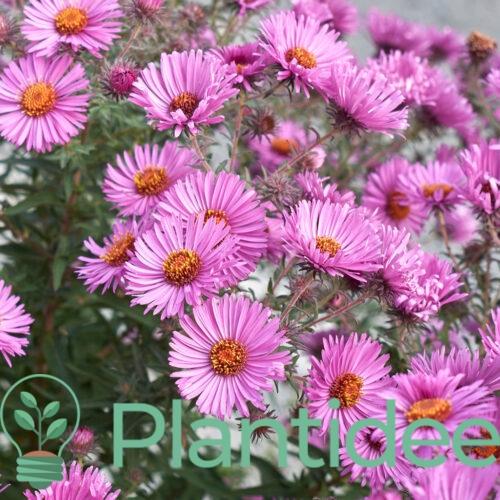 Plantidee - planten - Aster novi - belgii fellowship