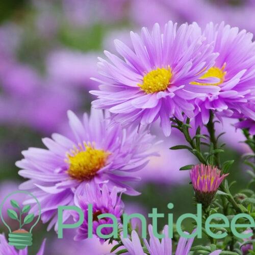 Plantidee - planten - Aster novi - belgii marie ballard