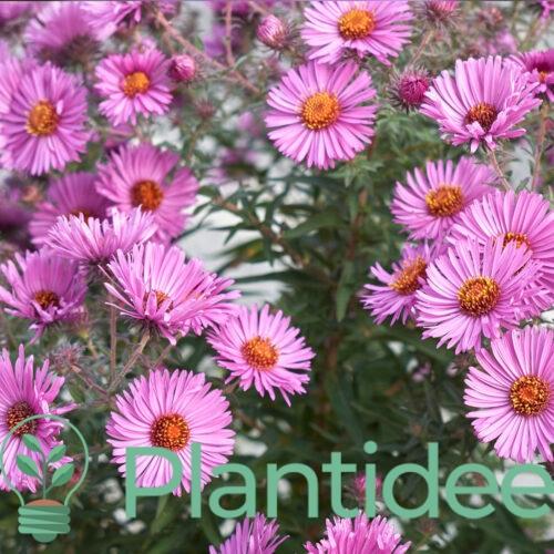 Plantidee - planten - Aster novi - belgii patricia ballard