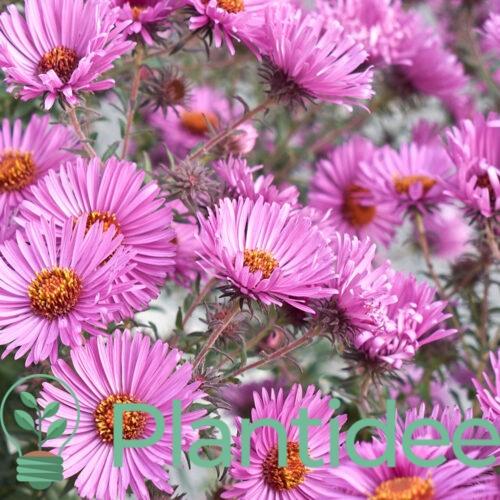 Plantidee - planten - Aster novi - belgii sarah ballard