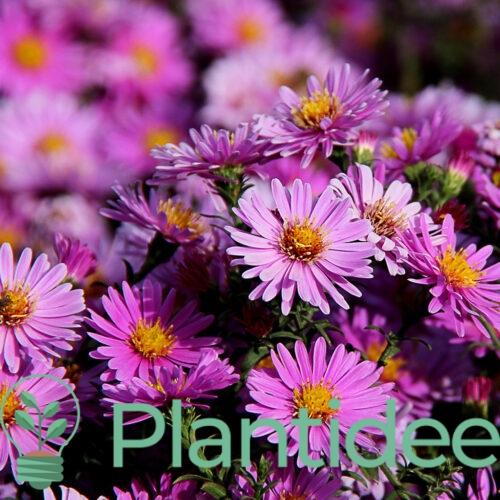 Plantidee - planten - Aster novi - belgii strawberry and cream