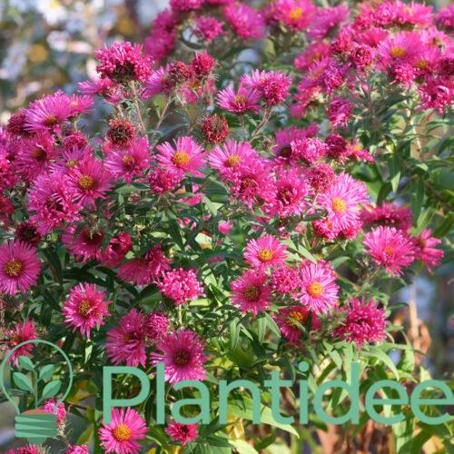 Plantidee - planten - Aster novi - belgii winston churchill