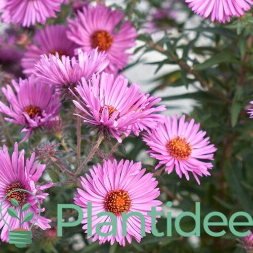 Plantidee - planten -Aster oblongifolius october skies
