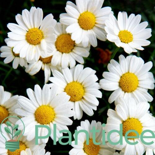 Plantidee - planten - Aster pringlei monte cassino