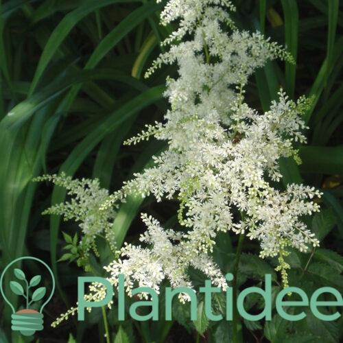 Plantidee - planten - Astilbe arendsii brautschleier