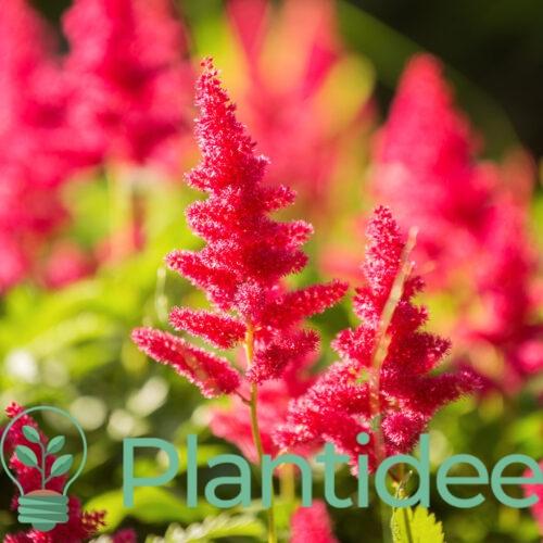 Plantidee - planten - Astilbe arendsii fanal