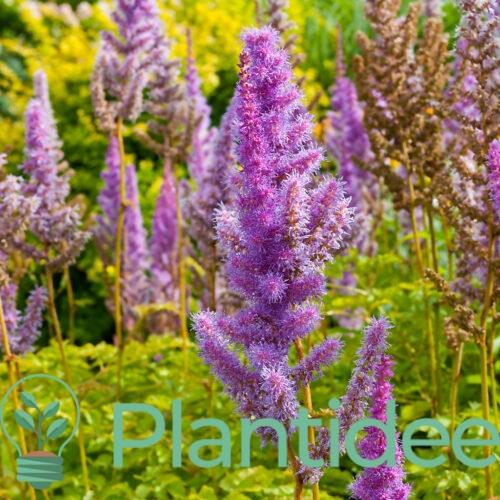 Plantidee - planten - Astilbe chinensis pumila