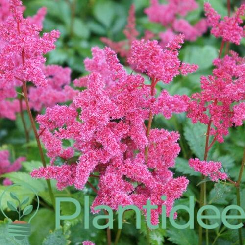 Plantidee - planten - Astilbe japonica koln