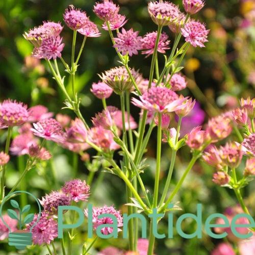 Plantidee - planten - Astrantia major