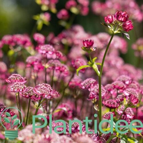 Plantidee - planten - Astrantia major claret