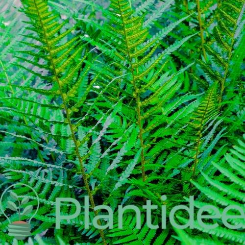 Plantidee - planten - Athyrium filix - femina