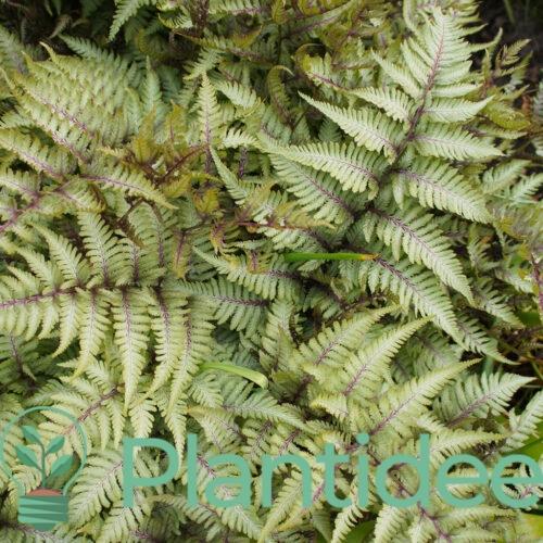 Plantidee - planten - Athyrium niponicum metallicum
