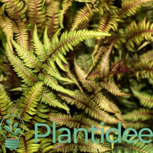 Plantidee - planten - Athyrium niponicum red beauty