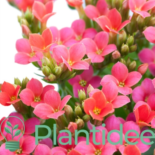 Plantidee - planten - Aubrieta red carpet