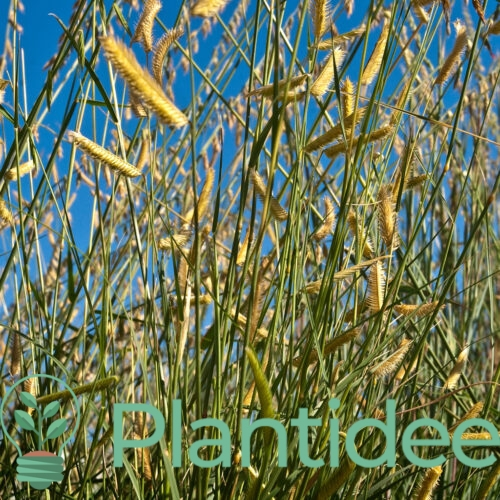 Plantidee - planten - Bouteloua gracilis