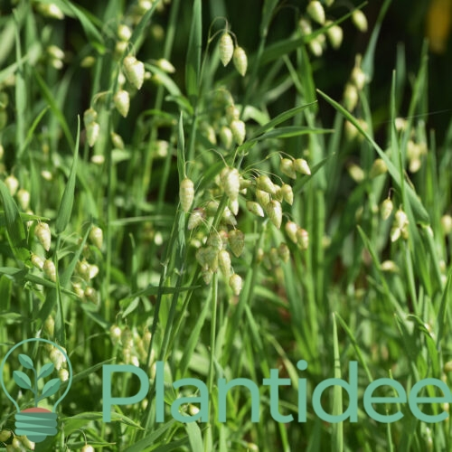 Plantidee - planten - Briza media