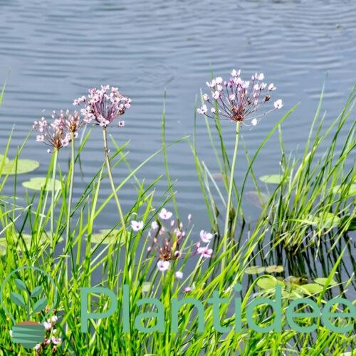 Plantidee - planten - Butomus umbellatus