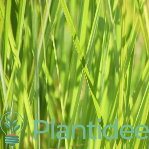 Plantidee - planten - Calamagrostis acutiflora avalanche