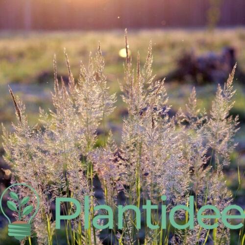 Plantidee - planten - Calamagrostis acutiflora england