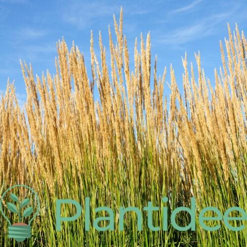 Plantidee - planten - Calamagrostis acutiflora karl foerster