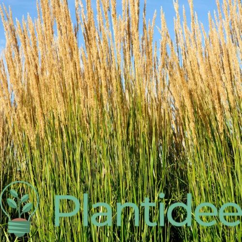 Plantidee - planten - Calamagrostis acutiflora waldenbuch