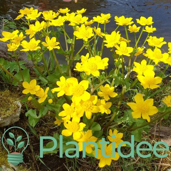 Plantidee - planten - Caltha palustris
