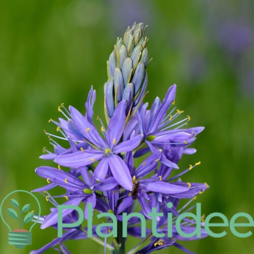 Plantidee - planten - Camassia leichtlinii blaue donau
